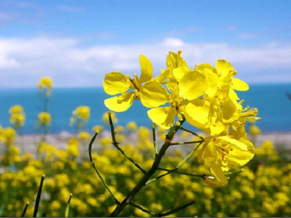 春天来了,看油菜花的心情说说 适合看油菜花发圈的句子